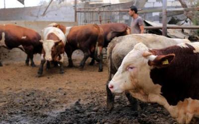 الاحتلال يضع شروطا لتصدير العجول لمناطق السلطة الفلسطينية