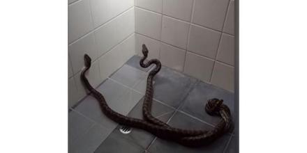بالفيديو..أسترالية تتفاجىء بزيارة غير متوقعة من زوجين من الأفاعي لحمامها