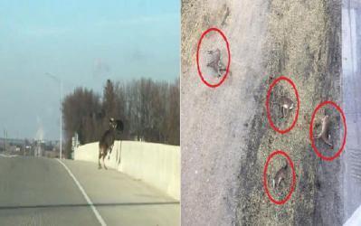 يشبه الانتحار الجماعي.. شاهد: قطيع غزلان يقفز لموته من فوق جسر بأمريكا