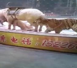 فيديو صادم.. أسد ونمر يفترسان حصانًا أثناء عرض للسيرك