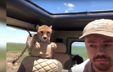 بالفيديو.. فهد يقفز إلى سيارة والسائق يحاولبالفيديو.. فهد يقفز إلى سيارة والسائق يحاول أن يبقى بلا حراك