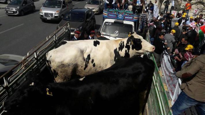 بالصور.. أبقار ودجاج في اعتصام أمام البرلمان الأردني