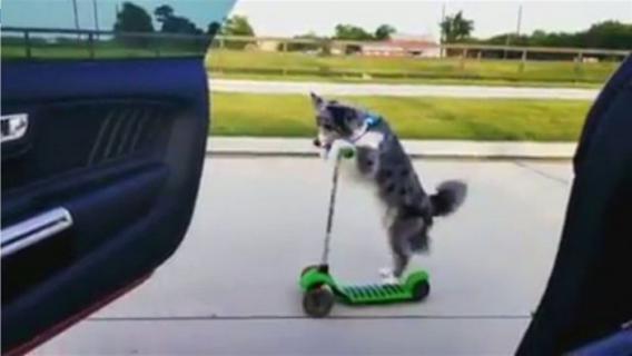 """أطرف فيديو لرقصة """"كيكي"""".. كلب يخوض التحدي على السكوتر"""
