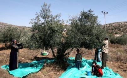 مستوطنون يسرقون أشجار زيتون في بورين جنوب نابلس