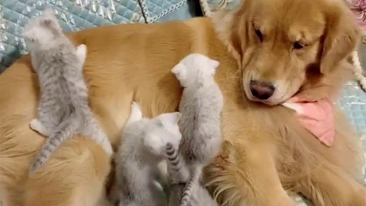 كلب يصادق قطط حديثة الولادة