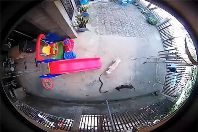 كلبان ينقذان صديقتهما من موت محتم (فيديو)
