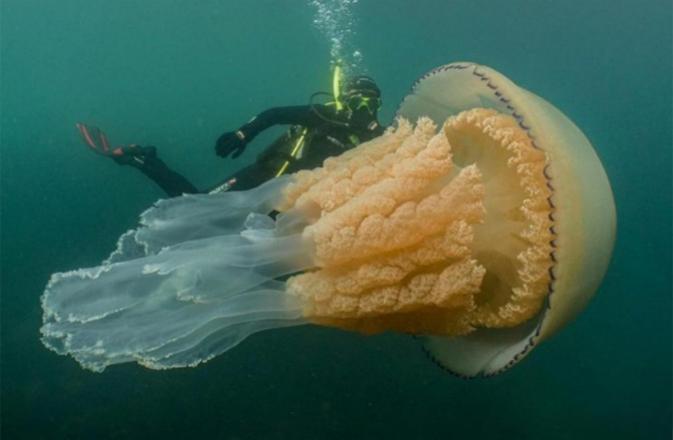 قنديل بحر بحجم غير طبيعي