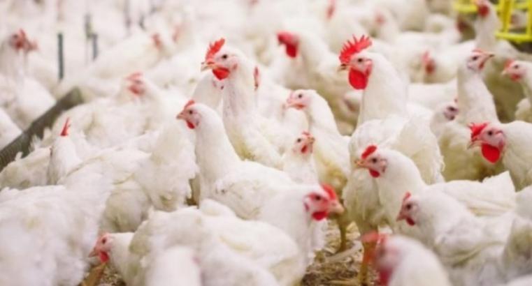 أسعار اللحوم والدجاج في غزة اليوم الجمعة - سعر كيلو الدجاج
