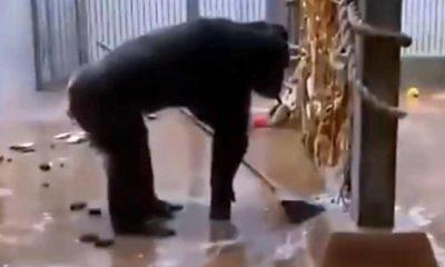 """شاهد فيديو مذهل.. شمبانزي ينظف قفصه بالمكنسة """"مثل المحترفين"""""""