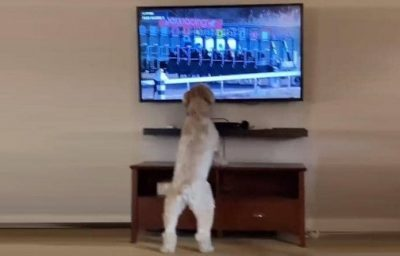كلب يشاهد سباق الخيل على التلفزيون ويحصد أكثر من ميلوني مشاهدة (فيديو)