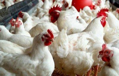 قبل الحظر الأسبوعي.. تعرف على أسعار الدجاج واللحوم بغزة