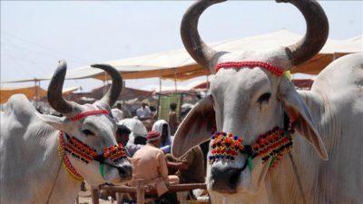 أبقار تهاجم مجموعة من الهنود أثناء جلوسهم بالشارع